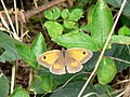 Gatekeeper or Hedge Brown - geograph.org.uk - 913091.jpg