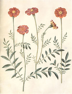Gc31 tagetes erecta and patula.jpg