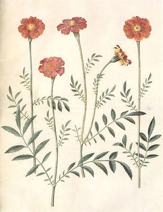 Tagetes erecta - Botanical illustration.