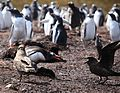 Gentoo Penguin guards its chick from Brown Skuas (5751734774).jpg