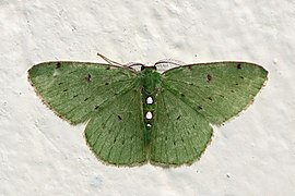 Geometrid moth (Synchlora herbaria).jpg
