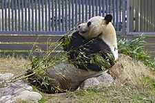 The Giant Panda Koukou at Oji Zoo