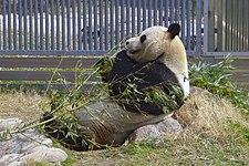The Giant Panda Koukou at Oji Zoo
