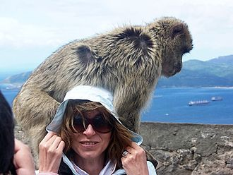 Barbary macaques in Gibraltar - Although the Barbary macaques form part of tourism in Gibraltar, direct contact with them (as shown in this photograph) is strongly discouraged.