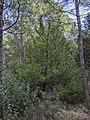 Ginebre (Juniperus communis), Santa Perpètua de Gaià.jpg