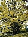 Ginkgo Tree Oguni Kumamoto02.jpg
