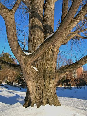 Smith College - Ginkgo tree near arboretum