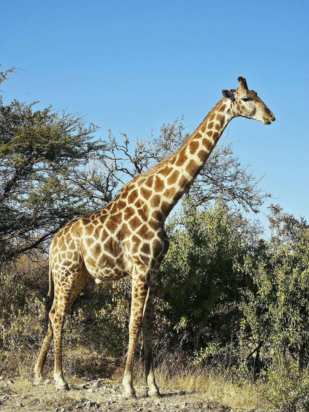 Girafe wikip dia for Prix d une girafe a poncer