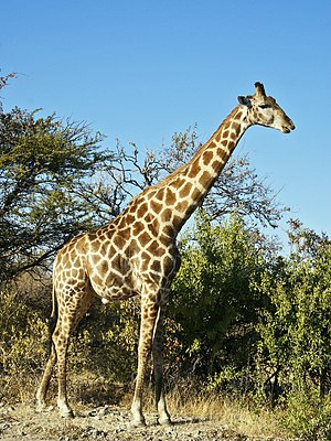 Southern giraffe - An Angolan giraffe in the savannahs of Etosha National Park, Namibia.
