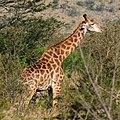 Giraffe (2875164612).jpg