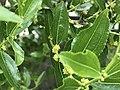 Giuggiolo Fiore 03.jpg