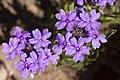 Glandularia wrightii - Flickr - aspidoscelis (1).jpg