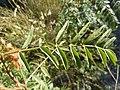 Glycyrrhiza lepidota (5021117116).jpg
