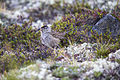 Golden-crowned Sparrow with Crowberry - Zonotrichia atricapilla (20860132384).jpg