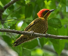 Golden-green Woodpecker - Darién - Panama (48431577586).jpg