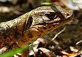 Golden Tegu (Tupinambis teguixin) - Flickr - berniedup.jpg