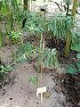 Gomphocarpus physocarpus - Botanical Garden in Kaisaniemi, Helsinki - DSC03670.JPG
