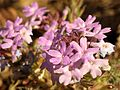 Goodding's Verbena - Flickr - treegrow.jpg