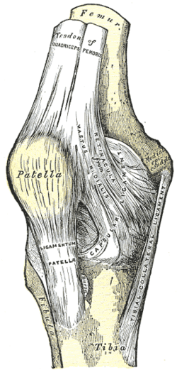 Patellar Ligament Wikipedia