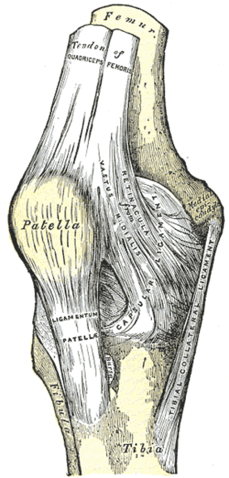 Medial epicondyle of the femur - Right knee-joint. Anterior view. (Medial epicondyle visible at right.)