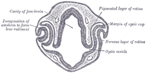 Eye development - Transverse section of head of chick embryo of forty-eight hours' incubation.