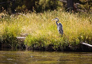 Great Blue Heron Yellowstone.jpg