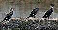 Great Cormorant (Phalacrocorax carbo) near Hodal W IMG 6424.jpg