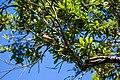 Great crested flycatcher (33972729183).jpg