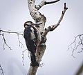 Great spotted woodpecker (48312649576).jpg