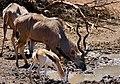Greater Kudu (Tragelaphus strepsiceros) and Springbok (Antidorcas marsupialis) males drinking ... (50217766107).jpg