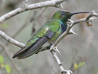 Green-breasted mango Species of bird