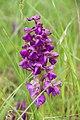 Green-winged Orchid - Anacamptis morio - panoramio (18).jpg
