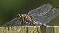 Green Skimmer on fence (17087396288).jpg