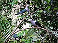Green imperial pigeon in Colombo Sri Lanka.jpg