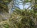 Grevillea robusta (4611164678).jpg