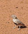 Grey-backed Sparrow-Lark (Eremopterix verticalis) female (32702634010).jpg