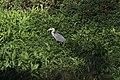 Grey Heron - Ardea cinerea (45565512982).jpg