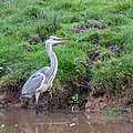 Grey Heron on the Trent and Mersey Canal - geograph.org.uk - 600888.jpg