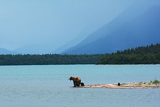 Naknek Lake - A mother grizzly bear with four cubs on the edge of Naknek Lake