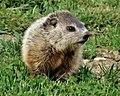 Groundhog Baby.jpg