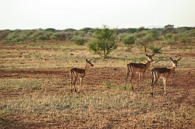 Group of Impala.jpg