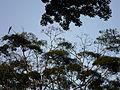 Guacamayas en el parque Francisco de Miranda.JPG
