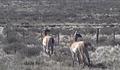 Guanacos en isla Gde. de T.del Fuego (sector de Chile) (3).PNG