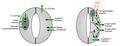 Guard cells mechanisms.png