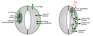 diagram of ion channels controlling stomatal aperture