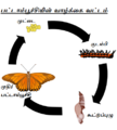 Gulf Fritillary Life Cycle ta.png