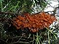 Gymnosporangium sabinae 02.jpg
