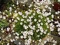 Gypsophila tenuifolia.JPG