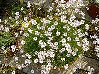 Gypsophila tenuifolia