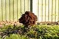 Gyromitra esculenta (41546533262).jpg